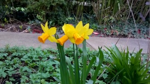 Daffodils blooming in my garden.